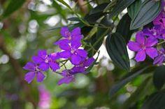 A quaresmeira possui este nome pois floresce geralmente próximo ao período da quaresma, por volta do mês de abril.