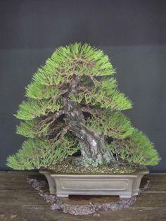 RK:bonsai