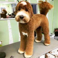 In this article, we will be discussing Goldendoodle grooming. We will outline the most important steps on how to groom a Goldendoodle, and we will even touch a little bit on Goldendoodle grooming styles. Goldendoodle Haircuts, Goldendoodle Grooming, Dog Haircuts, Poodle Grooming, Standard Goldendoodle, Dog Grooming Styles, Dog Grooming Tips, Dog Grooming Business, Grooming Shop