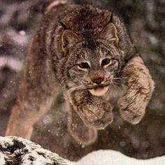 Fotos del Lince Canadiense Caracal, Snow Wolf, Arctic Fox, Arctic Circle, Big Love, Wild Child, My Animal, Big Cats, Polar Bear