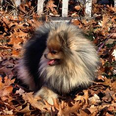 .Beautiful Pom