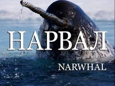 Нарвал — Narwhal