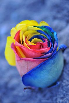 Tie- dyed roses with food coloring- I hope mine turn out this beautiful! Rainbow Roses, Rainbow Colors, Tie Dye Roses, Tie Dyed, Beautiful Rose Flowers, Beautiful Things, Beautiful Butterflies, Types Of Flowers, Flower Wallpaper