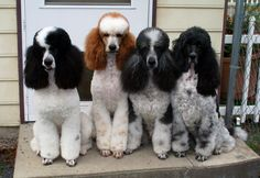 Adorable standard poodles... This is what Tim picked out for our next dog, just to decide on the color
