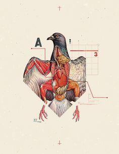Anatomical pigeon.