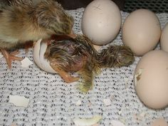 Look who's hatching! Can you guess which animal comes from each kind of egg? Oviparous Animals Unit Study