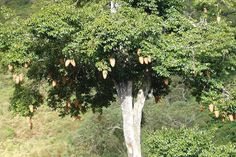 The African Tree That Could Help Replace Palm Oil...Food giant Unilever is working with farmers to domesticate the Allanblackia tree and tap its oil-rich seeds to make margarine and other products.