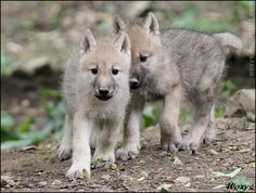 Baby Wolves | Baby arctic Wolves - Wolves Photo (30719477) - Fanpop fanclubs