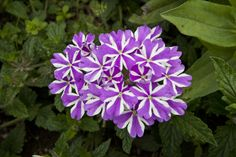 """This verbena hybrid """"Violet Star"""" has flowers with purple and white petals. Verbena Plant, Sun Garden, Flower Beds, Potted Plants, Perennials, Planting Flowers, Students, Gardens, Stars"""