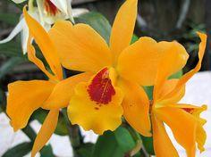 Laeliocattleya Gold Digger 'Fuch's Mandarin' - Flickr - Photo Sharing!