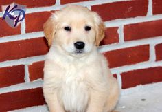 Leon – Golden Retriever Puppies for Sale in PA | Keystone Puppies