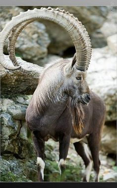 Mountain Goat has such magnificent set of horns, Unusual Animals, Majestic Animals, Rare Animals, Animals And Pets, Funny Animals, Strange Animals, Exotic Animals, Wild Animals, Beautiful Creatures