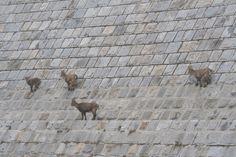 Femmina con capretto e due giovani stambecchi sulla diga del Baitone (foto di M.Canziani), in Val Malga, fotografati nel corso del Censimento Stambecco Adamello 2013 organizzato dall'Associazione Uomo e Territorio Pro Natura (www.uomoeterritoriopronatura.it)