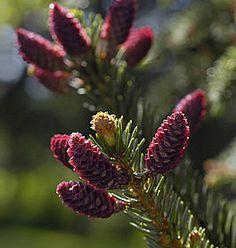 Picea omorika als kerstboom kiezen - Picea omorika als blauwe Servische spar kopen als kerstboom