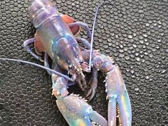 Is this rainbow lobster the 'craziest crustacean'?