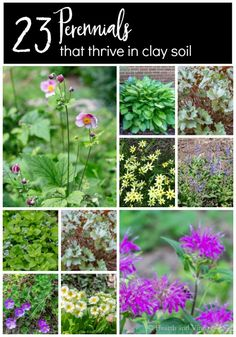 Perennials for Clay Soil Easy to grow perennials for clay soil. Enjoy this list of 23 mostly flowers plants that thrive in clay soil.Easy to grow perennials for clay soil. Enjoy this list of 23 mostly flowers plants that thrive in clay soil. Full Sun Perennials, Best Perennials, Hardy Perennials, Flowers Perennials, Part Shade Perennials, Perennials Fabric, Shade Plants, Clay Soil Plants, Planting In Clay