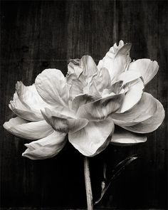 Kari Herer is amazing.  I will find a place for this peony in my home.