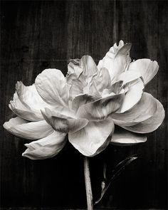 Black & White Flower Fine Art Photograph by Kari Herer Photography