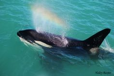 Rainblow from an Orca as it passes through Kaikoura Photo Credit: Haley Baxter
