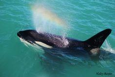 Rainblow from an Orca as it passes through Kaikoura Photo Credit: Haley Baxter