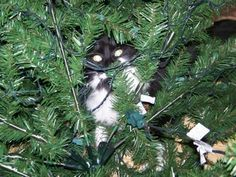 Cat in the Christmas tree is waiting for the tinsel to be applied! Cat Christmas Tree, Christmas Hanukkah, Christmas Animals, Christmas Holidays, Christmas Things, Xmas, The Night Before Christmas, Photo Tree, Holiday Festival