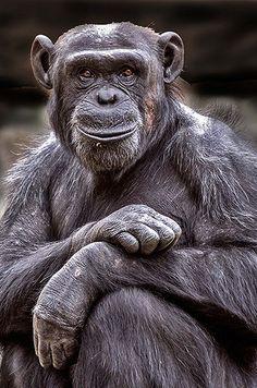 Le chimpanzé souriant prend la pose