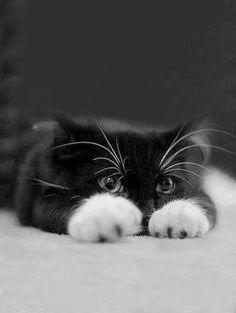 ♔ Black and white kitten