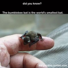 "The smallest mammal in the world, this tiny bat weighs less than 2 grams. Its body is about the size of a large bumblebee, hence the common name ""bumblebee bat"". Cute Creatures, Beautiful Creatures, Animals Beautiful, Cute Baby Animals, Animals And Pets, Funny Animals, Bumblebee Bat, Photo Animaliere, Baby Bats"