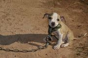 Officials say 451 dogs were rescued last year from the dog fighting ring in Alabama, Mississippi, Georgia and Texas -- the second-largest federal raid in U.S. history. Of those, about half have been adopted into new homes.