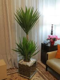 Resultado de imagem para planta yucca