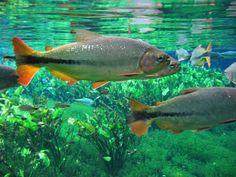 Brasil - Pantanal Mato Grosso -   peixes.jpg (1024×768)