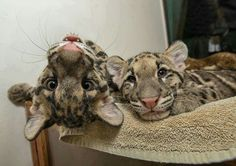 Clouded leopard cubs Riki-san and Haui-san smile for the camera. You can see… Pretty Cats, Beautiful Cats, Animals Beautiful, Crazy Cats, Big Cats, Cool Cats, Leopard Cub, Clouded Leopard, Animals And Pets