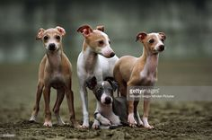 Stock Photo : Italian Greyhound (Canis familiaris) puppies, Japan