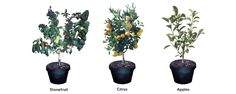 A Fruit Salad Tree is a tree that grows up to 6 fruits all on the 1 Tree. They are multi-grafted trees. Dwarfing Citrus and Apples. Small sized Stonefruit. Pot