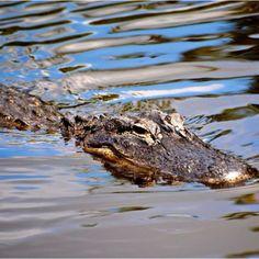 Everglades alligator, Naples Fl