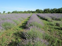 Washington Creek Lavender Farm, owned by my friends Kathy and Jack Wilson.