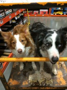Chloe and Haley are an Inseparable Pair of Lovely Border Collies!