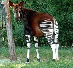 Okapi, apesar das listras de zebra, este mamífero é na verdade mais estreitamente relacionado às girafas