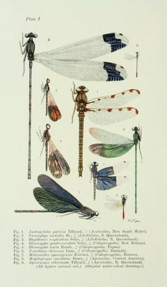 Plate taken from 'The Biology of Dragonflies' by R. J. Tillyard. Published by Cambridge University Press (1917).