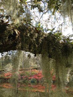 Ferns growing on Live Oak tree