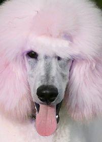 Five Star Poodles- cotton candyesque