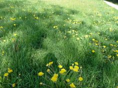 May 2014 - a meadow full of dandelions in Bad Woerishofen, Bavaria