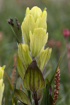 | Rocky Mountain National Park. (pinned by haw-creek.com) Western Yellow Paintbrush - Castilleja occidentalis | Photo by Jacob W. Frank | Rocky Mountain National Park. (pinned by haw-creek.com)