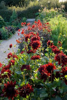 Dahlias (Dahlia 'Rip City' in the foreground with D. 'Bishop of Lancaster' beyond), Nasturtiums - Gravel Path - Perch Hill (Design: Sarah Raven)
