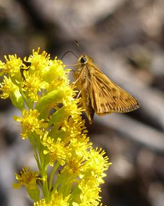 Fiery Skipper on Goldenrod
