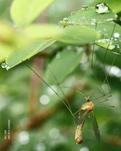 DAG 149: MORNING MOSQUITO Project 4.12.365  http://phototroost.com/gallery/365/ #photography #fotografie #mosquito #macro #nature #zeeland #zeeuw