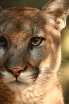 Cougar-had one 'que in' like this on my 2 year old at a zoo...SCARY to see your child as a big cat's next meal...