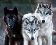 THE ANIMAL EFFECT — wolves-only: Photo by Diane Wood