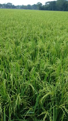 Rice fields of Bangladesh. Paddy field picture is very beautiful Kerala Travel, Santa Ana, Fruit Photography, Planting Vegetables, Beautiful Places To Travel, Plan Your Trip, Things To Know, Nature Pictures, Amazing Nature