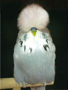 English Budgerigars (Parakeet), a fancy show bird, originating in England. Budgies Parrot, Budgie Parakeet, Parrots, Parakeets, Cute Birds, Pretty Birds, Beautiful Birds, English Budgie, Animals And Pets